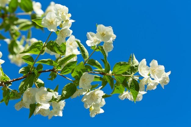 Close de uma flor de jasmim contra o céu azul