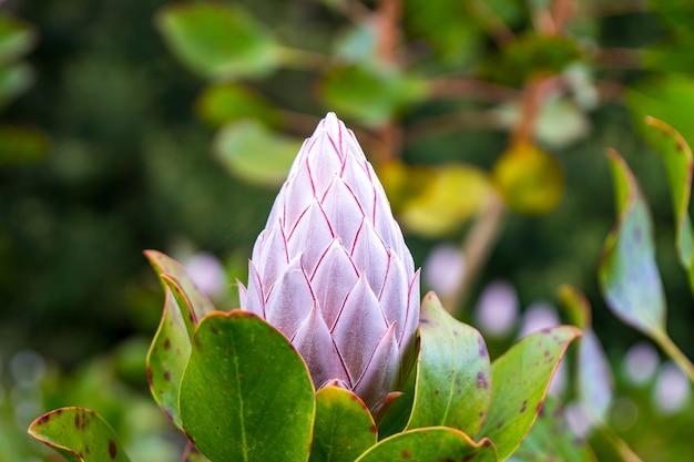 Close de uma flor de prótea-rei fechada