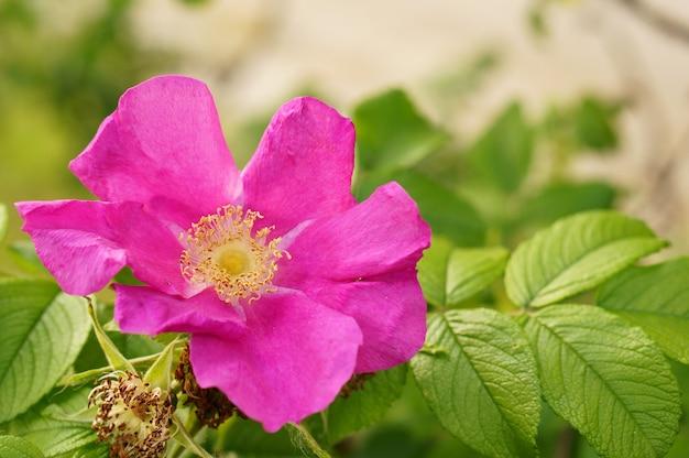 Close de uma flor de rosa silvestre de pétalas roxas em um fundo desfocado