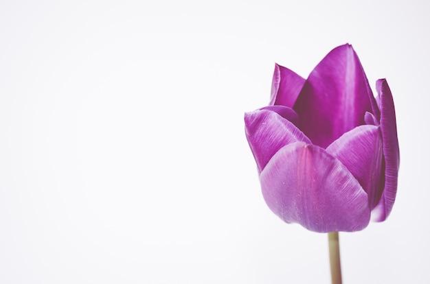 Close de uma flor de tulipa rosa isolada no fundo branco com espaço para seu texto