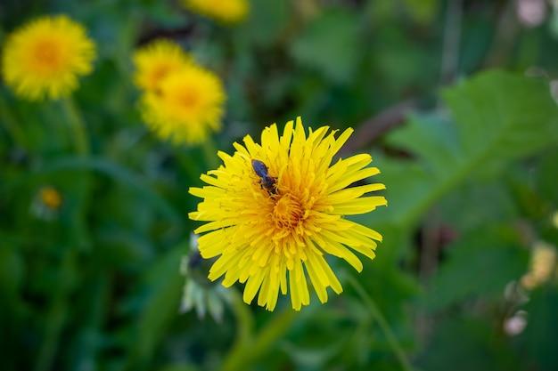 Close de uma flor dente de leão durante a polinização de um inseto