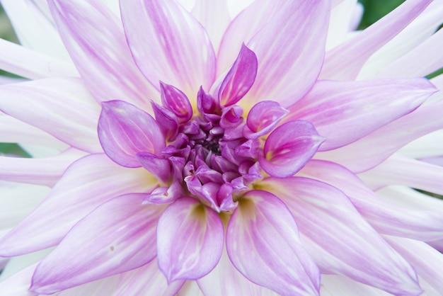 Close de uma flor exótica com pétalas roxas e brancas