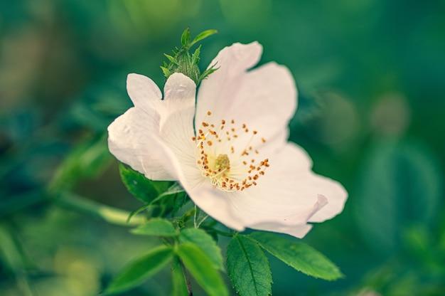 Close de uma flor rosa rubiginosa branca