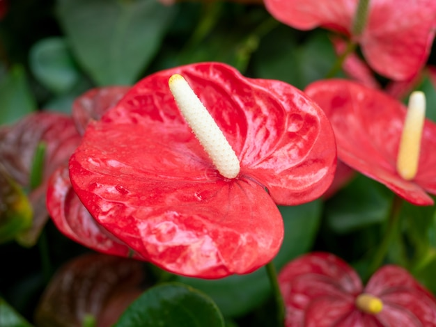 Close de uma flor vermelha de antúrio com folhas verdes ao fundo