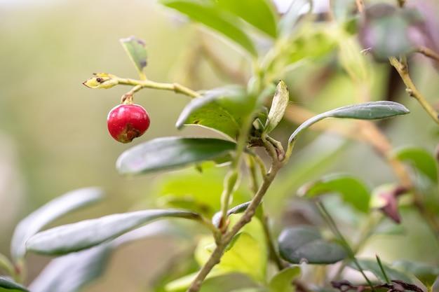 Close de uma fruta vermelha na árvore