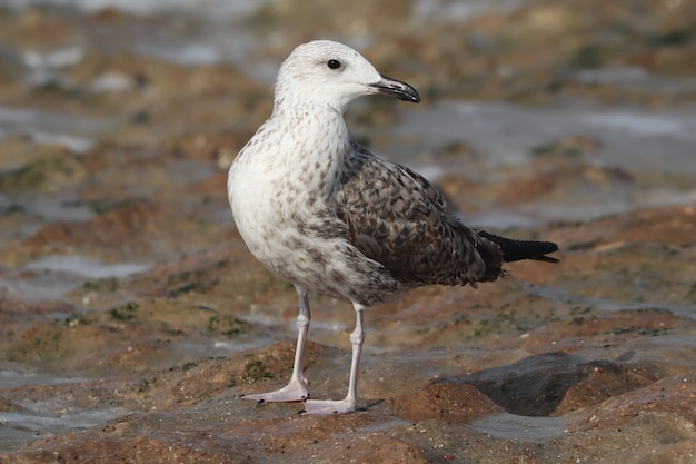 Close de uma gaivota-arenque europeia na costa durante o dia