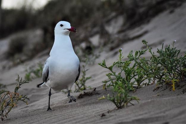 Close de uma gaivota-de-bico-vermelho andando na areia durante o dia