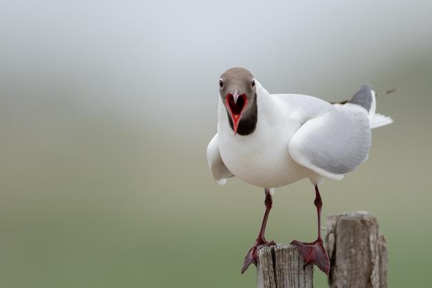 Close de uma gaivota de cabeça preta em um pedaço de madeira