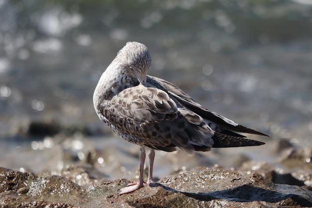Close de uma gaivota fofa em uma costa rochosa sob a luz do sol