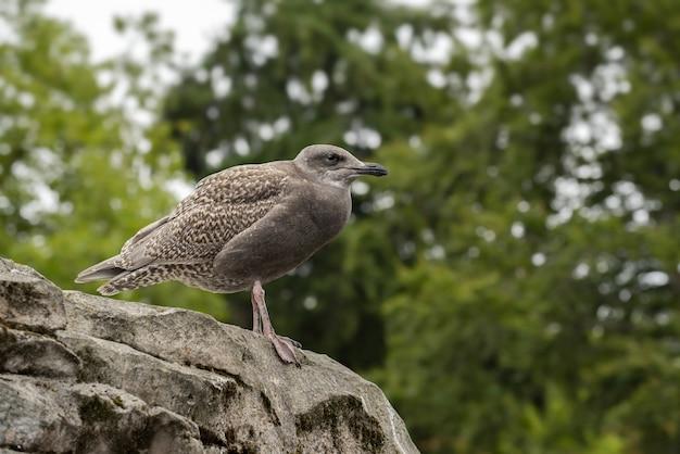 Close de uma gaivota grande de cor marrom empoleirada em uma rocha