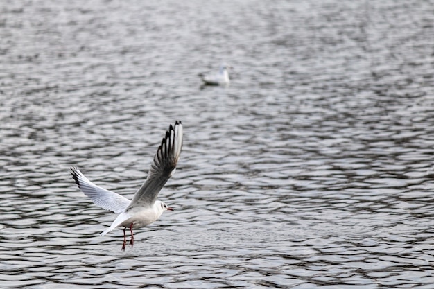 Close de uma gaivota voando sobre o lago se preparando para pousar para nadar