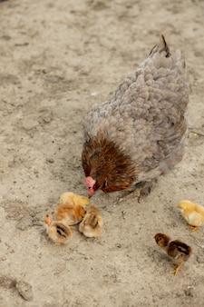 Close de uma galinha mãe com seus pintinhos na fazenda. galinha com pintinhos.