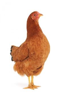 Close de uma galinha marrom fofa