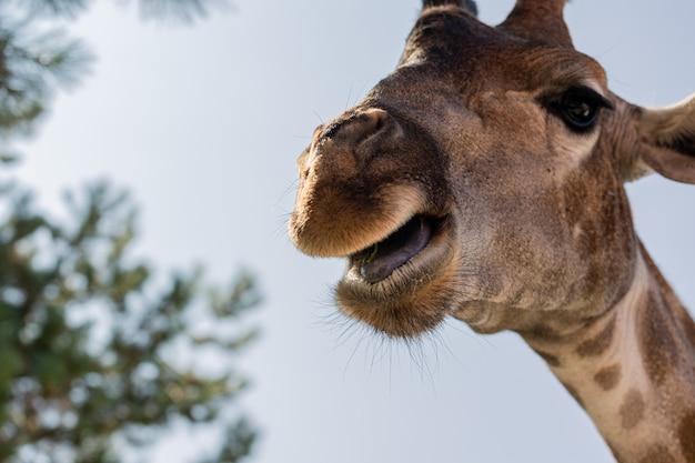 Close de uma girafa com a língua de fora
