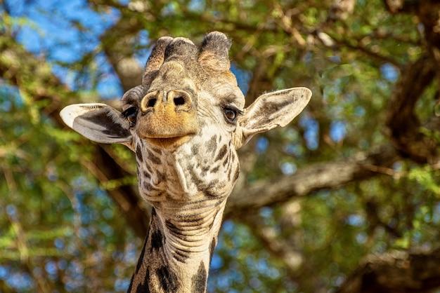 Close de uma girafa fofa em frente às árvores com folhas verdes