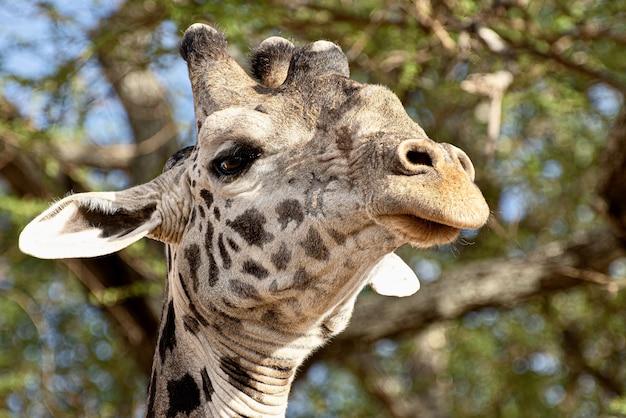 Close de uma girafa fofa na frente das árvores com folhas verdes