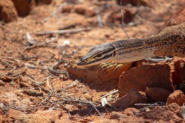 Close de uma goanna de areia rastejando nas rochas no chão sob a luz do sol durante o dia