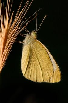 Close de uma grande borboleta branca do sul