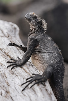 Close de uma grande iguana cinza na árvore