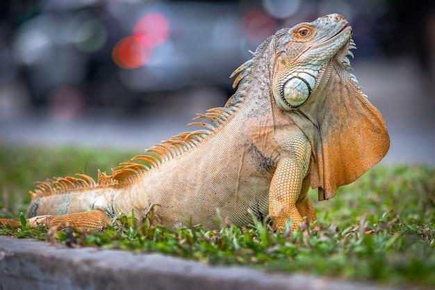 Close de uma grande iguana