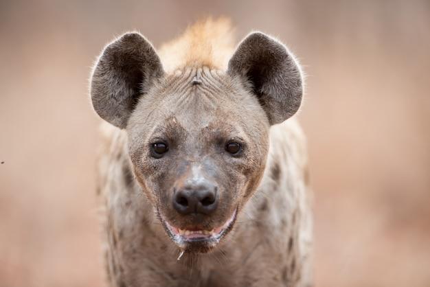 Close de uma hiena-pintada salivando e ofegando