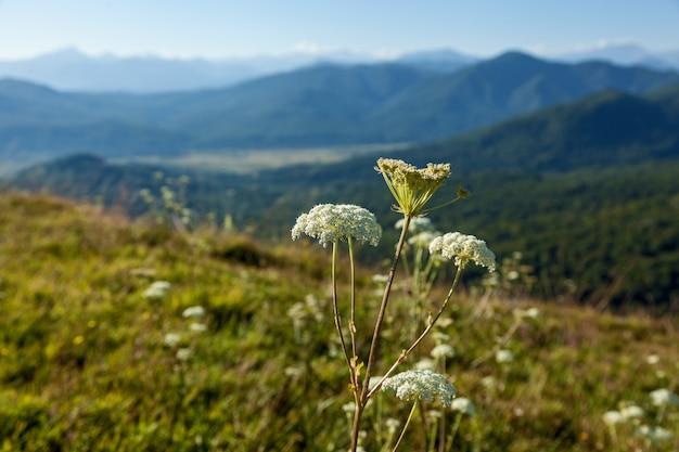 Close de uma hogweed branca e verde crescendo no prado contra o fundo da bela
