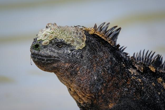 Close de uma iguana preta com espinhos