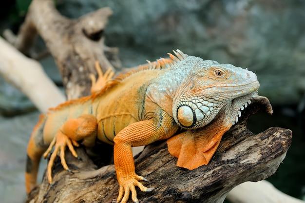 Close de uma iguana verde macho multicolorida