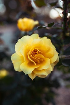 Close de uma incrível flor de rosa amarela