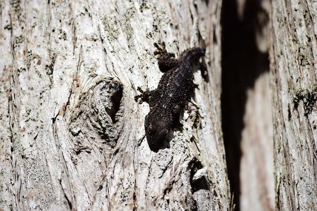 Close de uma lagartixa-comum preta andando em uma velha árvore