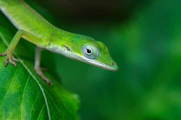 Close de uma lagartixa verde em uma folha