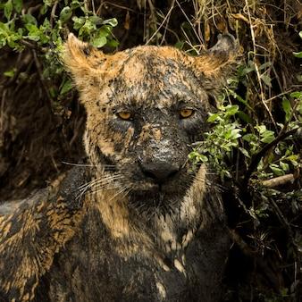 Close de uma leoa suja, serengeti, tanzânia, áfrica