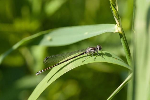 Close de uma libelinha empoleirada em uma longa lâmina de folha