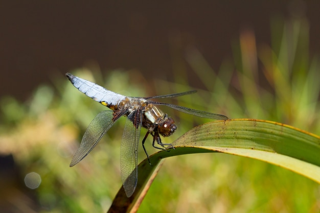 Close de uma libélula azul sentada em uma planta em um jardim capturada durante o dia