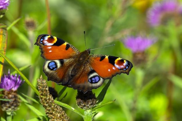 Close de uma linda borboleta pavão em uma flor