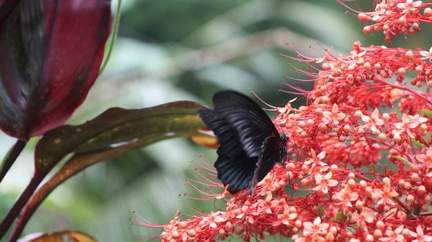 Close de uma linda borboleta preta em uma flor vermelha