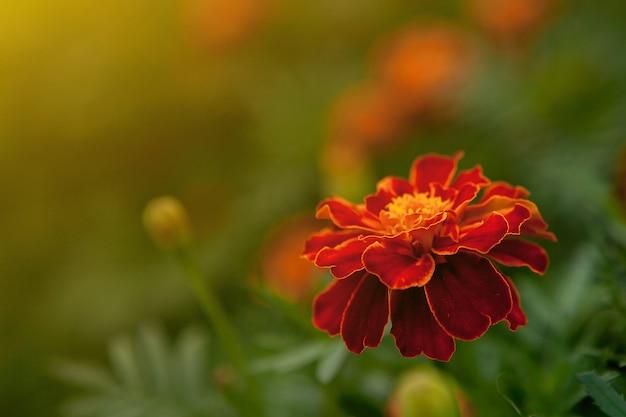 Close de uma linda flor de calêndula amarelo alaranjado