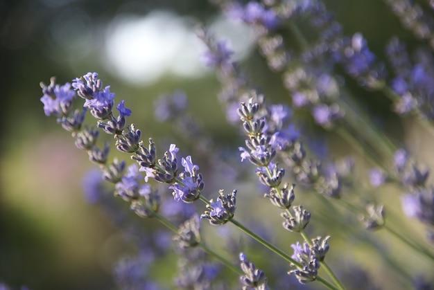 Close de uma linda flor de lavanda desabrochando em um campo