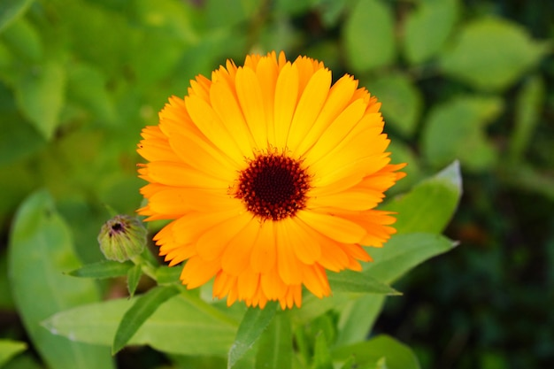 Close de uma linda flor de margarida africana com pétalas amarelas