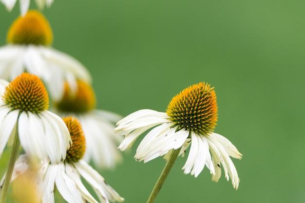 Close de uma linda flor de margarida africana em um fundo desfocado