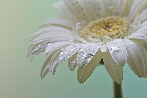 Close de uma linda flor de margarida branca coberta com gotas de orvalho