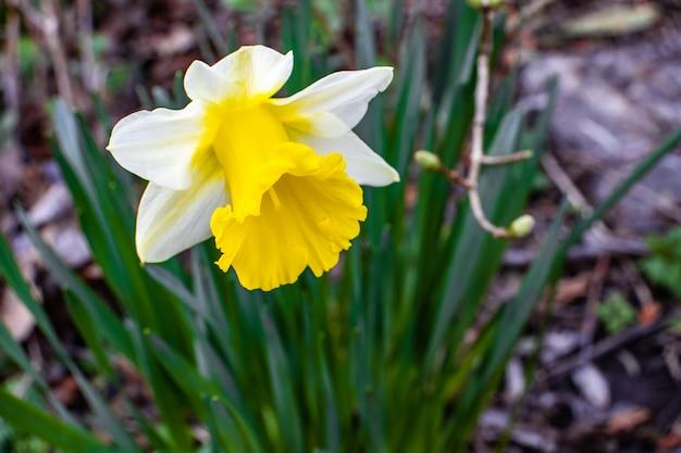 Close de uma linda flor de narciso com pétalas brancas em um fundo desfocado