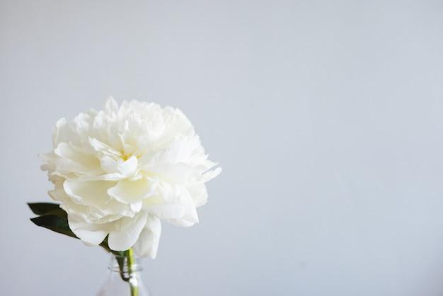Close de uma linda flor de rosa branca em um vaso em um fundo cinza com espaço de cópia, foto de flor