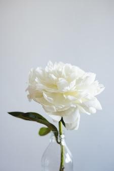 Close de uma linda flor de rosa branca em um vaso em um fundo cinza com espaço de cópia