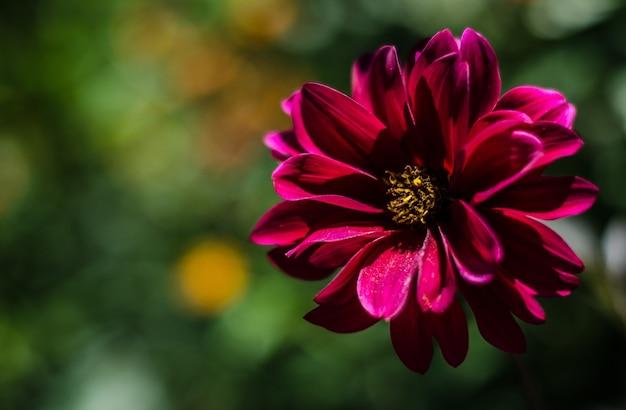 Close de uma linda flor de susan de pétalas roxas e olhos pretos em um fundo desfocado