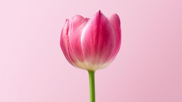 Close de uma linda flor de tulipa rosa em uma parede rosa