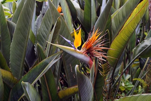 Close de uma linda flor do paraíso com folhas verdes