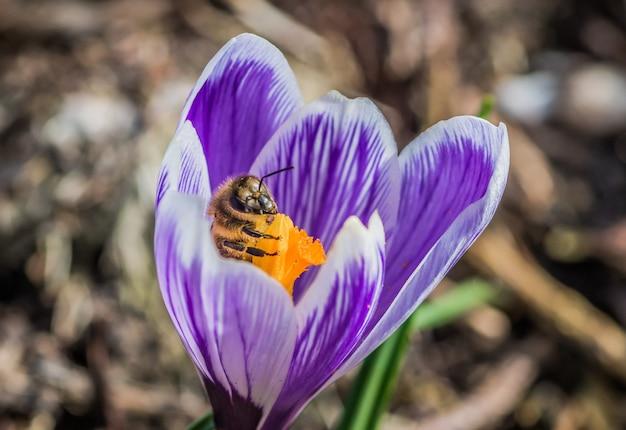 Close de uma linda flor roxa de crocus vernus com uma abelha