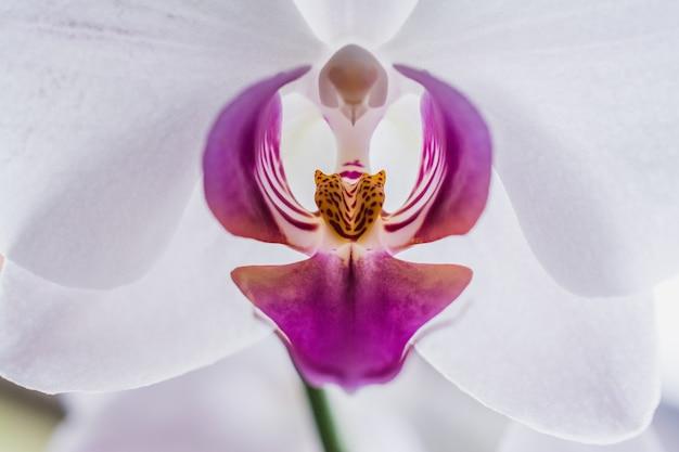 Close de uma linda orquídea branca e rosa