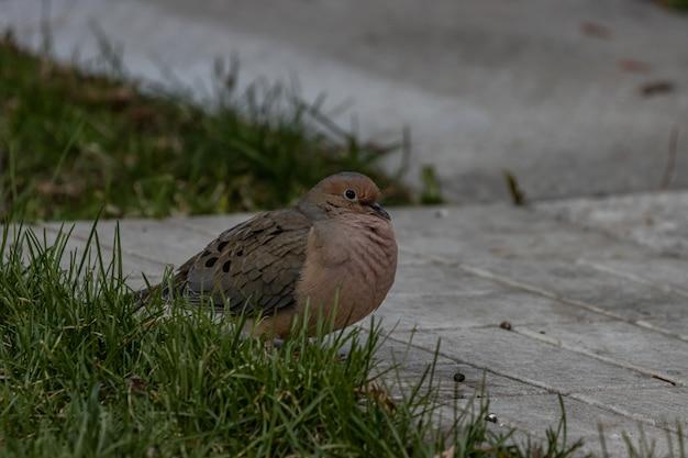 Close de uma linda pomba de luto pousada em uma superfície de concreto